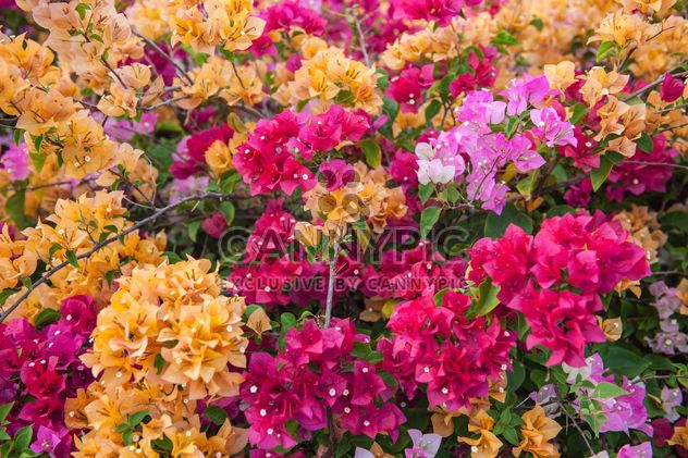 Bright colorful bougainvillea bush - Free image #330899