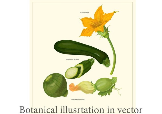 Zucchini Botanical Poster Vector - vector gratuit #331269