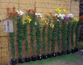 Japan (Kobe-Sorakuen Garden) Long-stemmed chrysanthemums - бесплатный image #332449