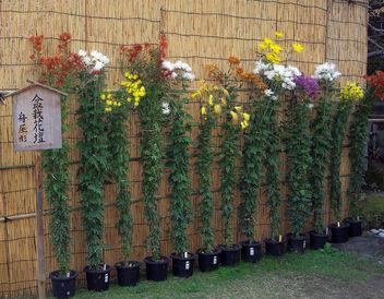 Japan (Kobe-Sorakuen Garden) Long-stemmed chrysanthemums - Free image #332449