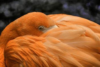 Flamingo Resting - Kostenloses image #332759