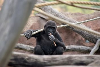 Gorilla on rope climbing in park - image gratuit #333159