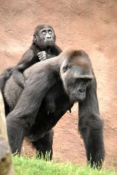 Gorilla mother with her baby in park - бесплатный image #333179