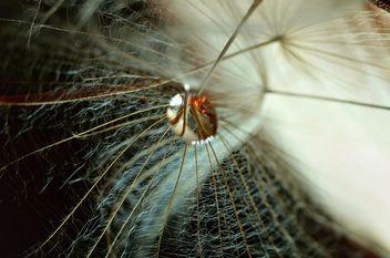 Dandelion macro - бесплатный image #333299