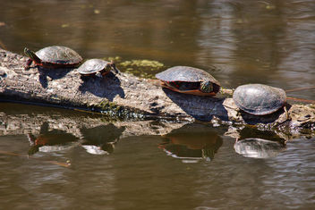 Horicon Marsh Turtles - бесплатный image #334149