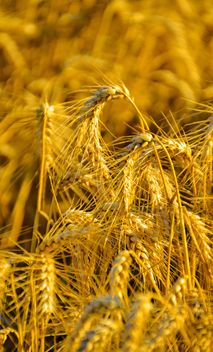 Golden wheat on field - image gratuit #334799