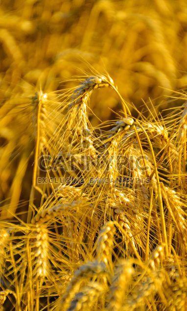 Пшеница золотая на поле - бесплатный image #334799