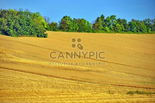 Champ de blé doré - image gratuit(e) #334809