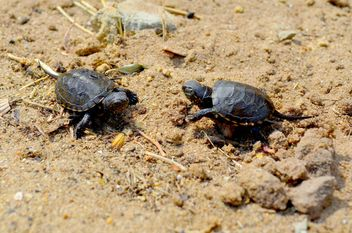 Two Little tortoise - image gratuit #335089