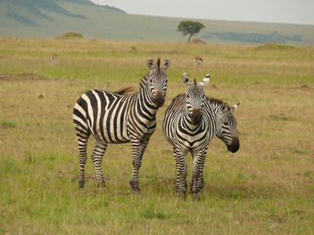 Zebras in the Mara ! - image gratuit #335929
