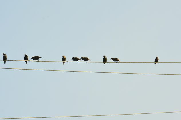 Starlings on electric wires - image gratuit(e) #337489