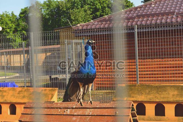 Hermoso pavo real en el zoo - image #337539 gratis