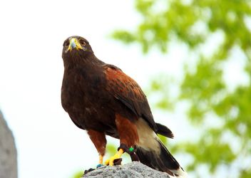 Brown eagle on stone - image #337549 gratis