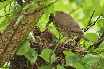 Thrush and nestlings in nest - Free image #337569