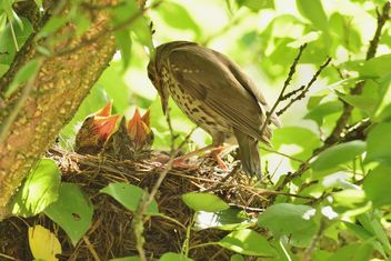 Thrush and nestlings in nest - Free image #337579
