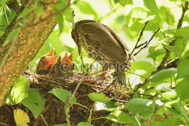 Thrush and nestlings in nest - Free image #337579