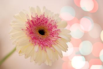 White gerbera flower - бесплатный image #337939