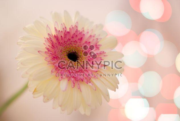 Цветок Гербера белая - Free image #337939