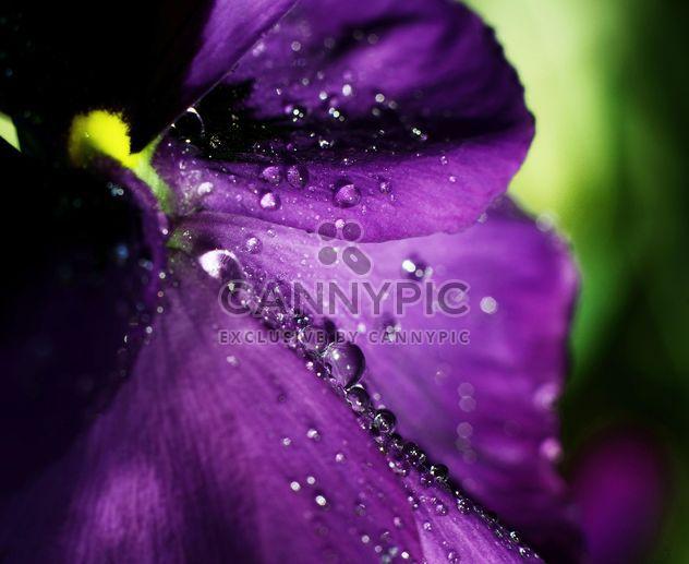 Pensamiento flor con gotas de rocío - image #338289 gratis