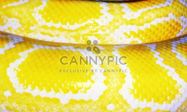 Tiger Albino python - Free image #338329