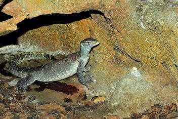 Grey varan near rock - image #341309 gratis