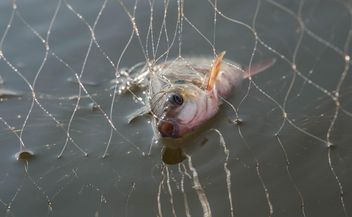 A fish in net - image gratuit #343569