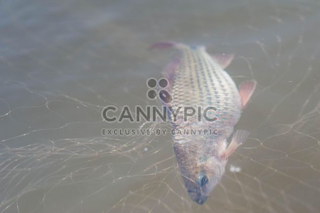 A fish in net - Free image #343579