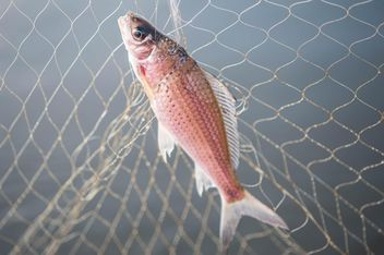 A fish in net - image #343589 gratis