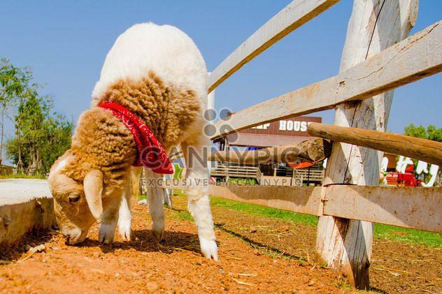 Милые овец на ферме - бесплатный image #344449
