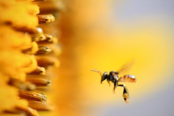 Closeup of bee flying near sunflower - бесплатный image #345019