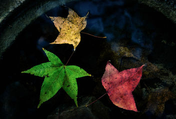 Maple Leaves - Free image #345229
