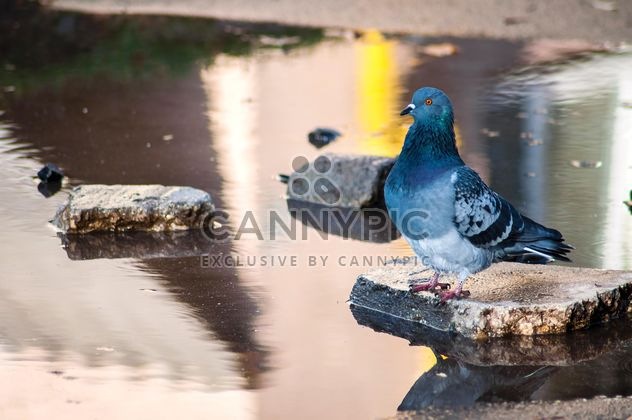 Grey pigeon on stone in pond - Free image #346899