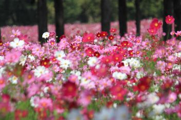 Field of pink cosmos flowers - Free image #347789