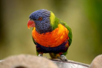 Tropical rainbow lorikeet parrot - бесплатный image #348459