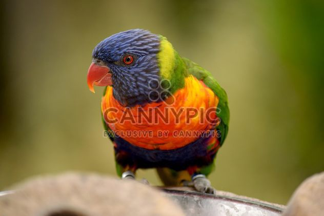 Tropical rainbow lorikeet parrot - Free image #348459
