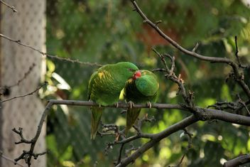 Pair of green lorikeet parrots on branch - Free image #348519