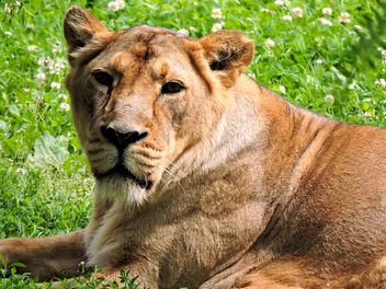 Portrait of lioness resting on green grass - Free image #348619