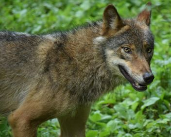 Grey wolf on green leaves background - Free image #348629