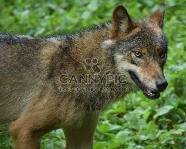 Серый волк на фоне зеленых листьев - бесплатный image #348629