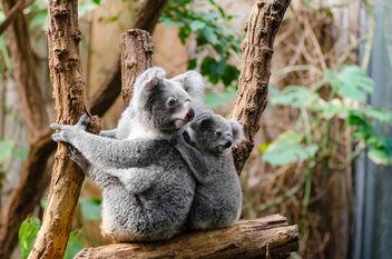 Koala Family - Free image #348909