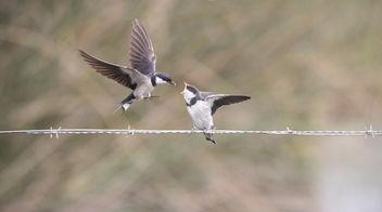 Swallow Swallow - image #349259 gratis