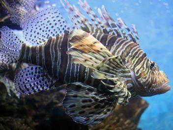 Lionfish zebrafish underwater - image #350209 gratis