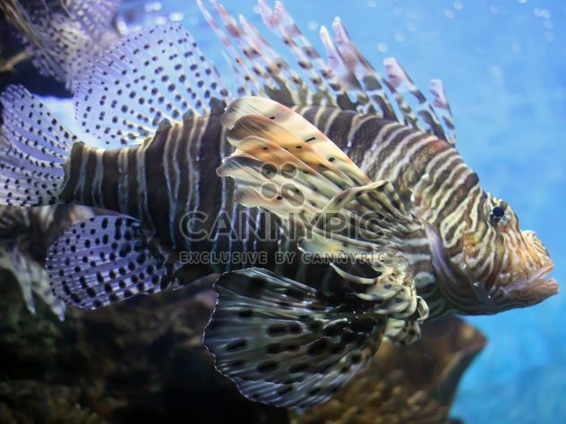 Данио рерио крылатка под водой - бесплатный image #350209
