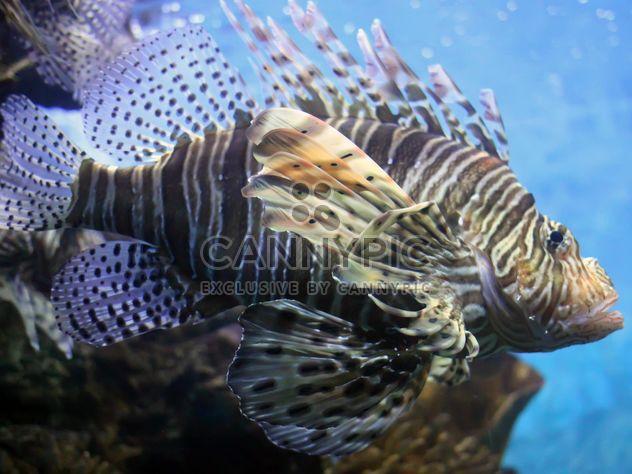 Peixe-leão zebrafish debaixo d'água - Free image #350209