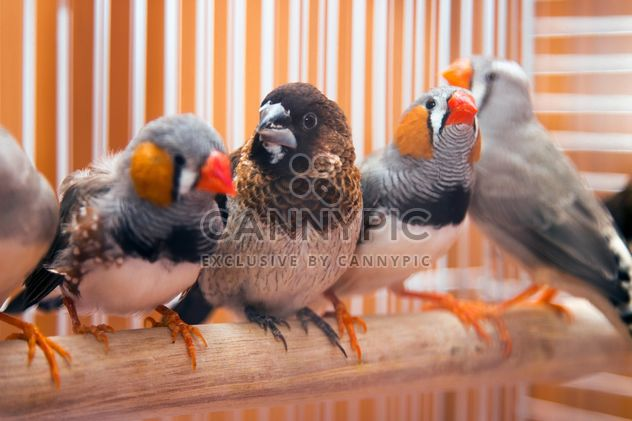 Sparrow and zebra finches - Free image #350239
