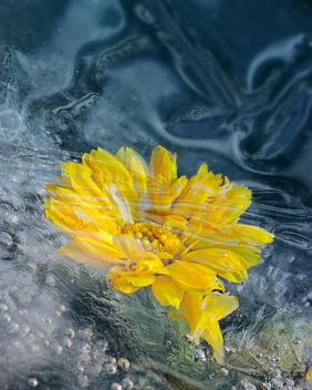 frozen marigold - Kostenloses image #350829