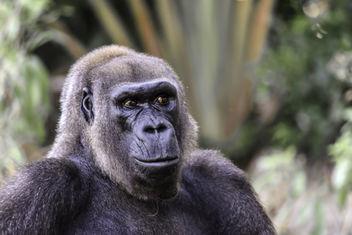 Lowland Gorilla - image gratuit #351139
