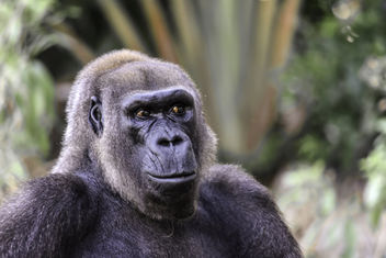 Lowland Gorilla - image #351139 gratis