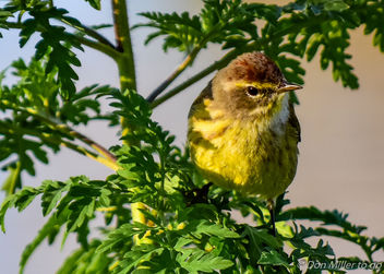 Palm Warbler - бесплатный image #355529