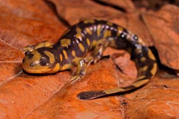Eastern Tiger Salamander (Ambystoma tigrinum) - Free image #357449